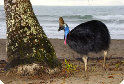 cassowary looking for food