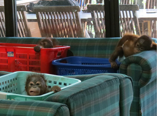 "Orphaned young orangutans in the ""baby house"""