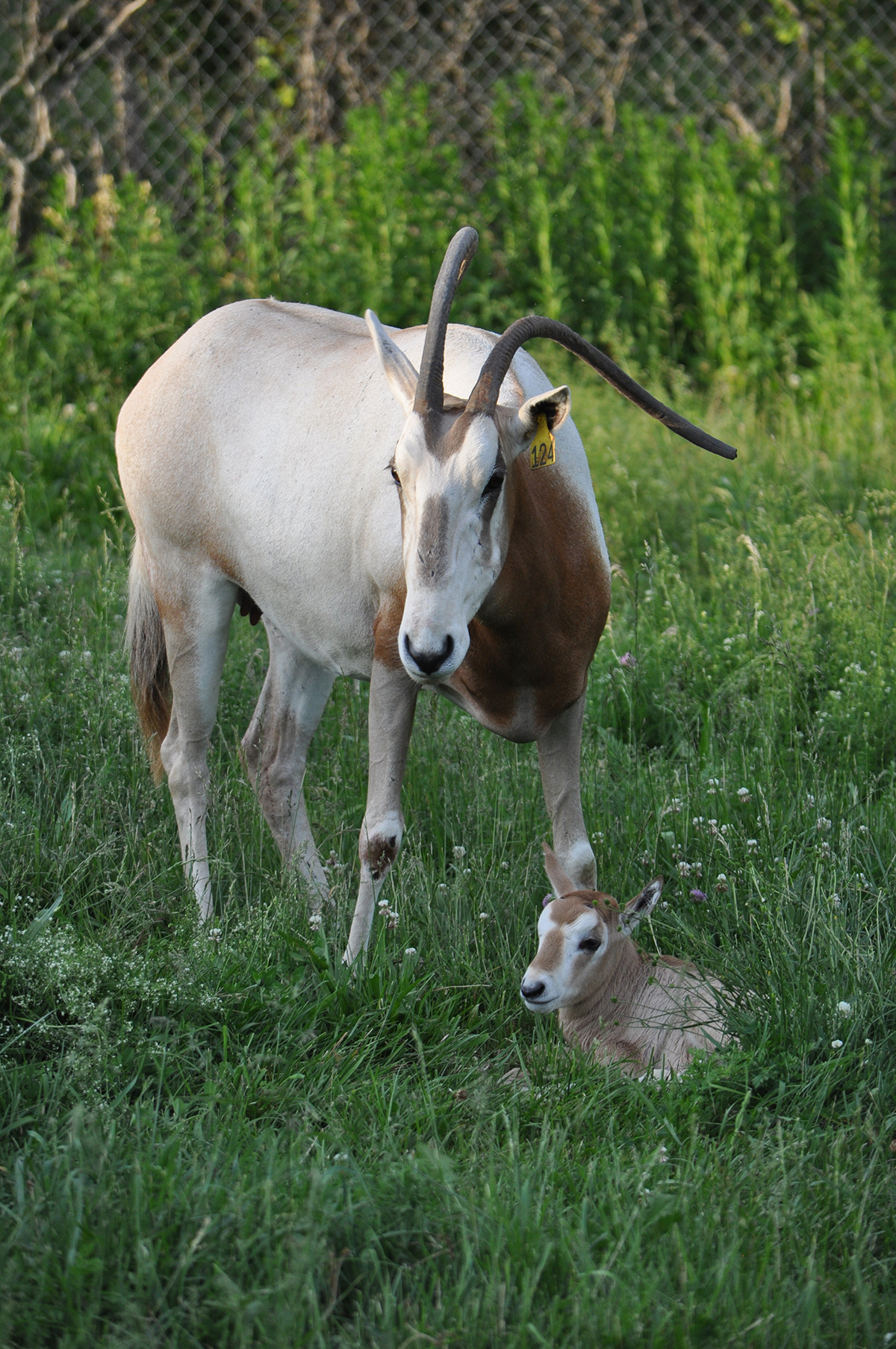 oryx calf laying in grass as its mother stands over it