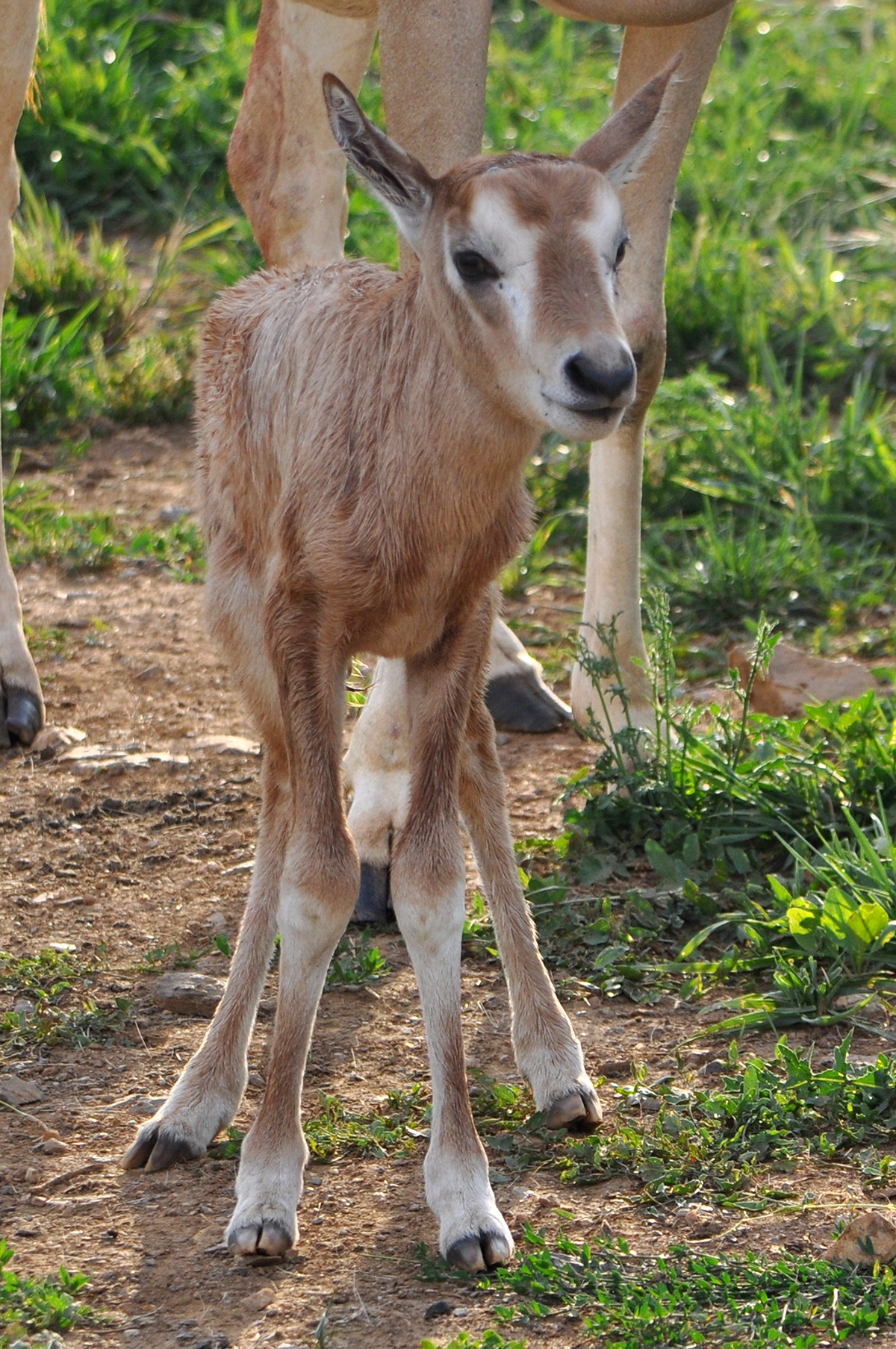 oryx calf stands outside near adult oryx