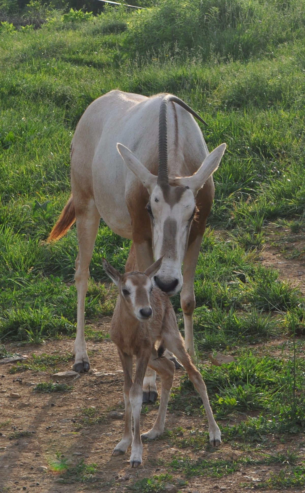 oryx calf with mother