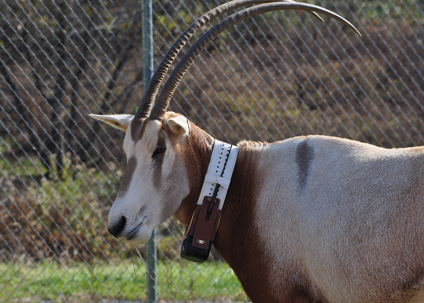 oryx with tracking collar on