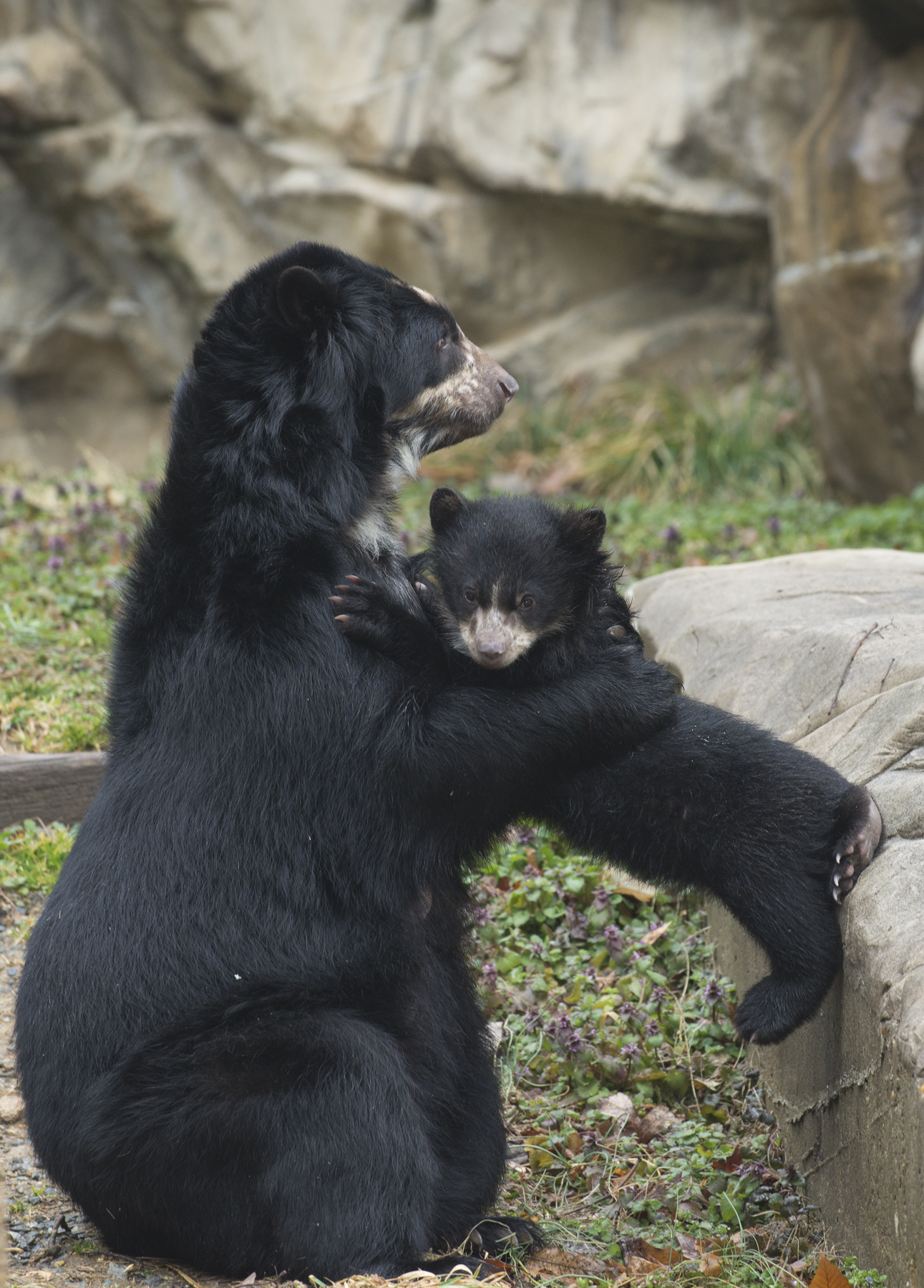 Andean bear holds her cub