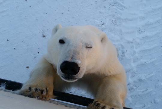 polar bear climbs up and looks at camera with one eye closed