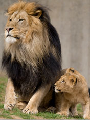 A Lion Cub Climbs On His Father Luke At The National Zoo Photo Courtesy Of Smithsonian S Site