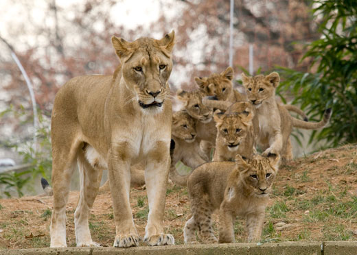 lion with lots of cubs
