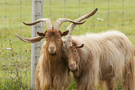 SVF livestock, two long haired goats in a field