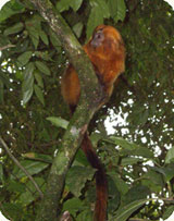 golden lion tamarin in thee in brazil