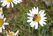 daisy with a bee on it