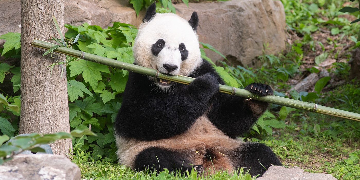 giant panda bei bei holds a stick of bamboo and prepares to take a bite