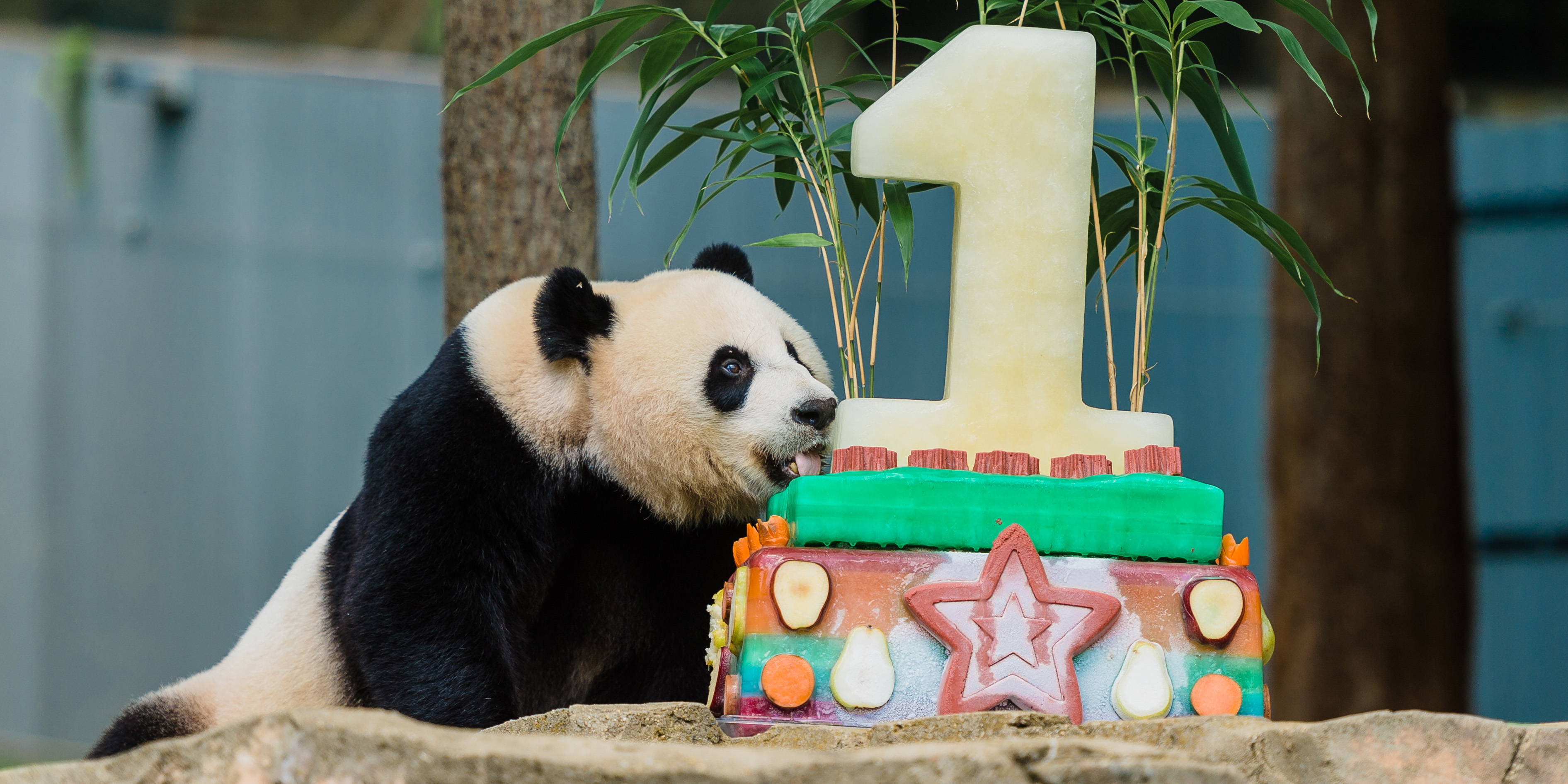 Mei Xiang with food enrichment