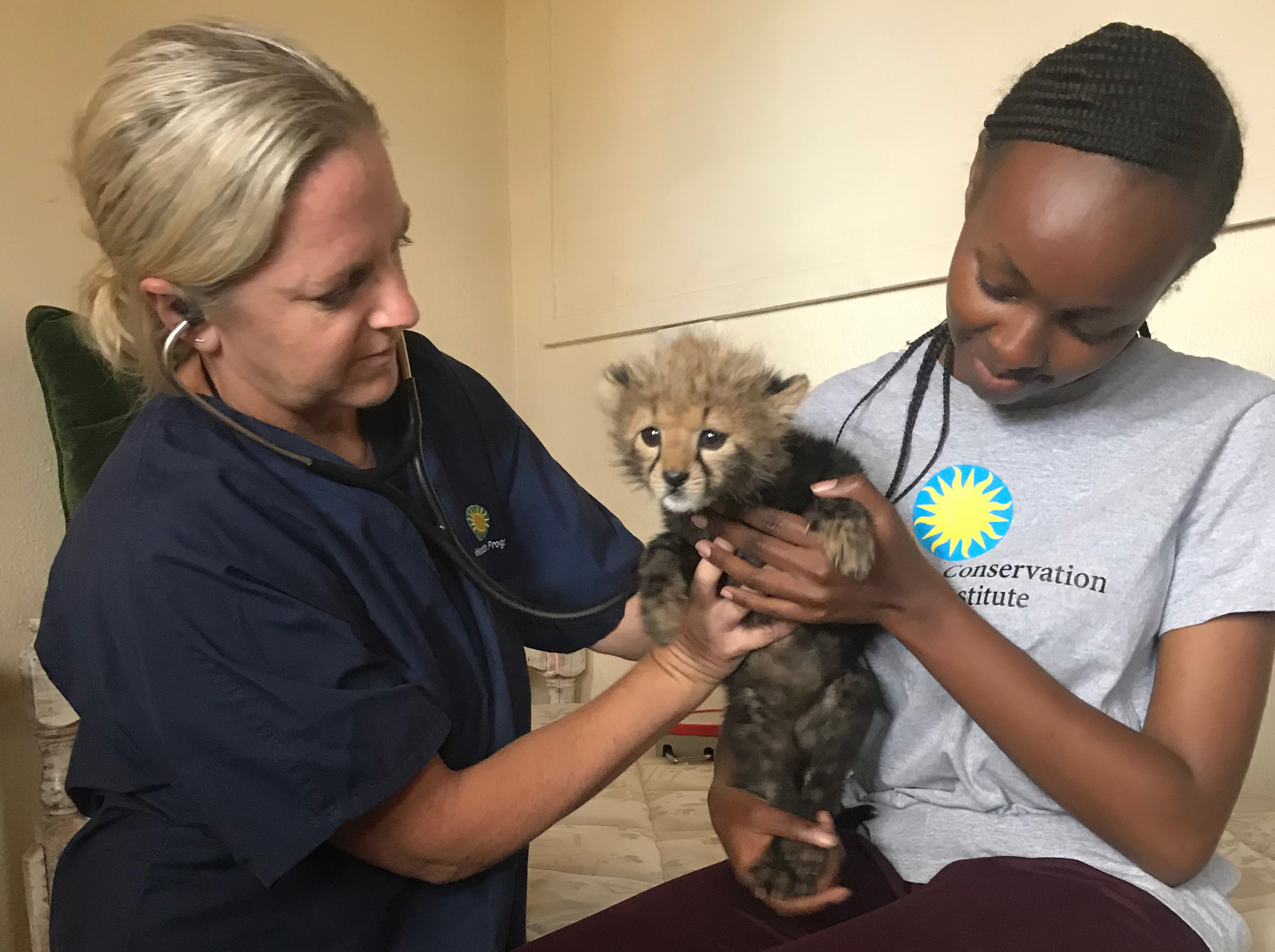 Two wildlife veterinarians with Global Health Program examine a cheetah cub in Kenya