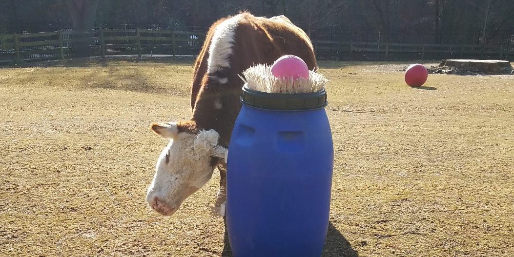 Hereford cow Rose enjoys tactile enrichment