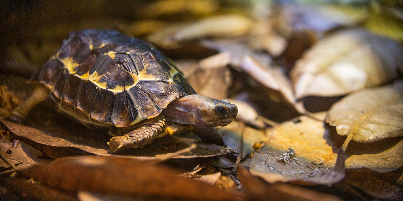 A small tortoise, called a Home's hinge-back tortoise, with a yellow and brown shell and short, scaly legs stands on a bed of leaves