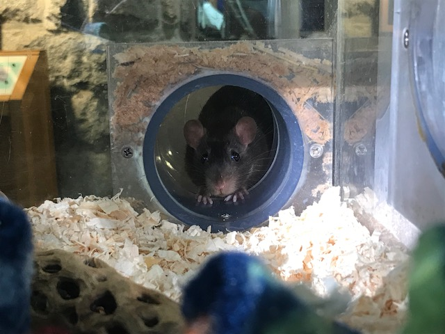 Norway rat exploring her exhibit.