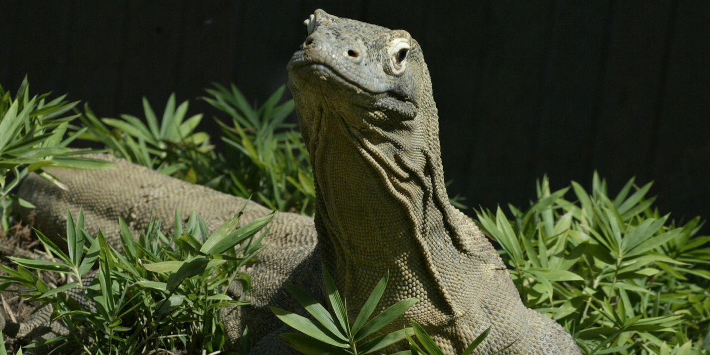 Adopt A Komodo Dragon  Smithsonians National Zoo-3112