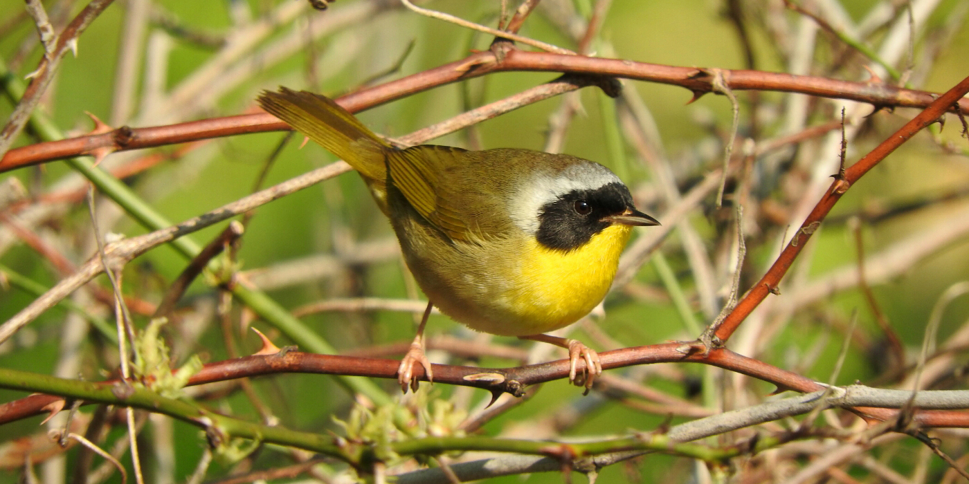 small yellow songbird with a black mask