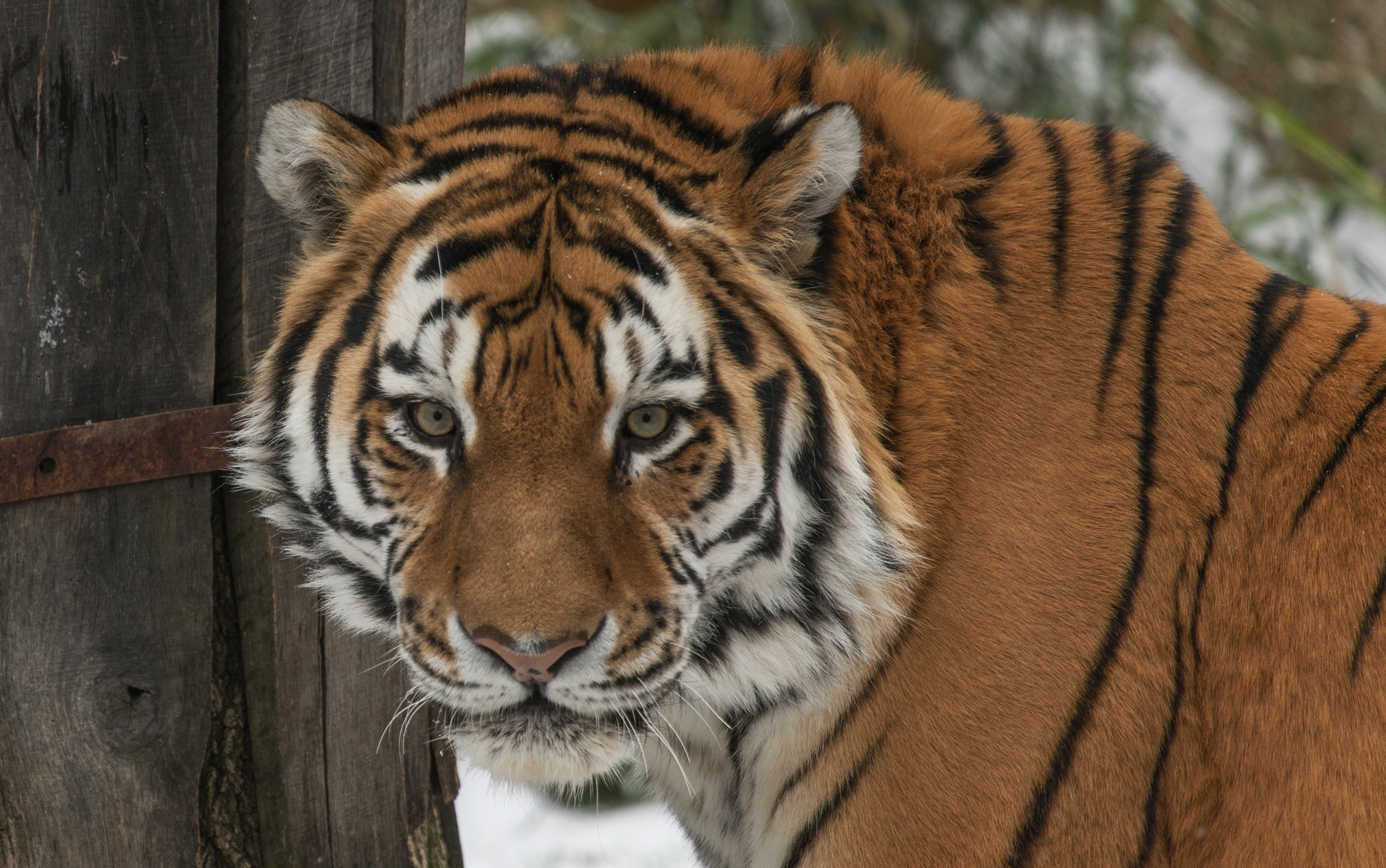 New At the Zoo: Amur Tiger | Smithsonian's National Zoo