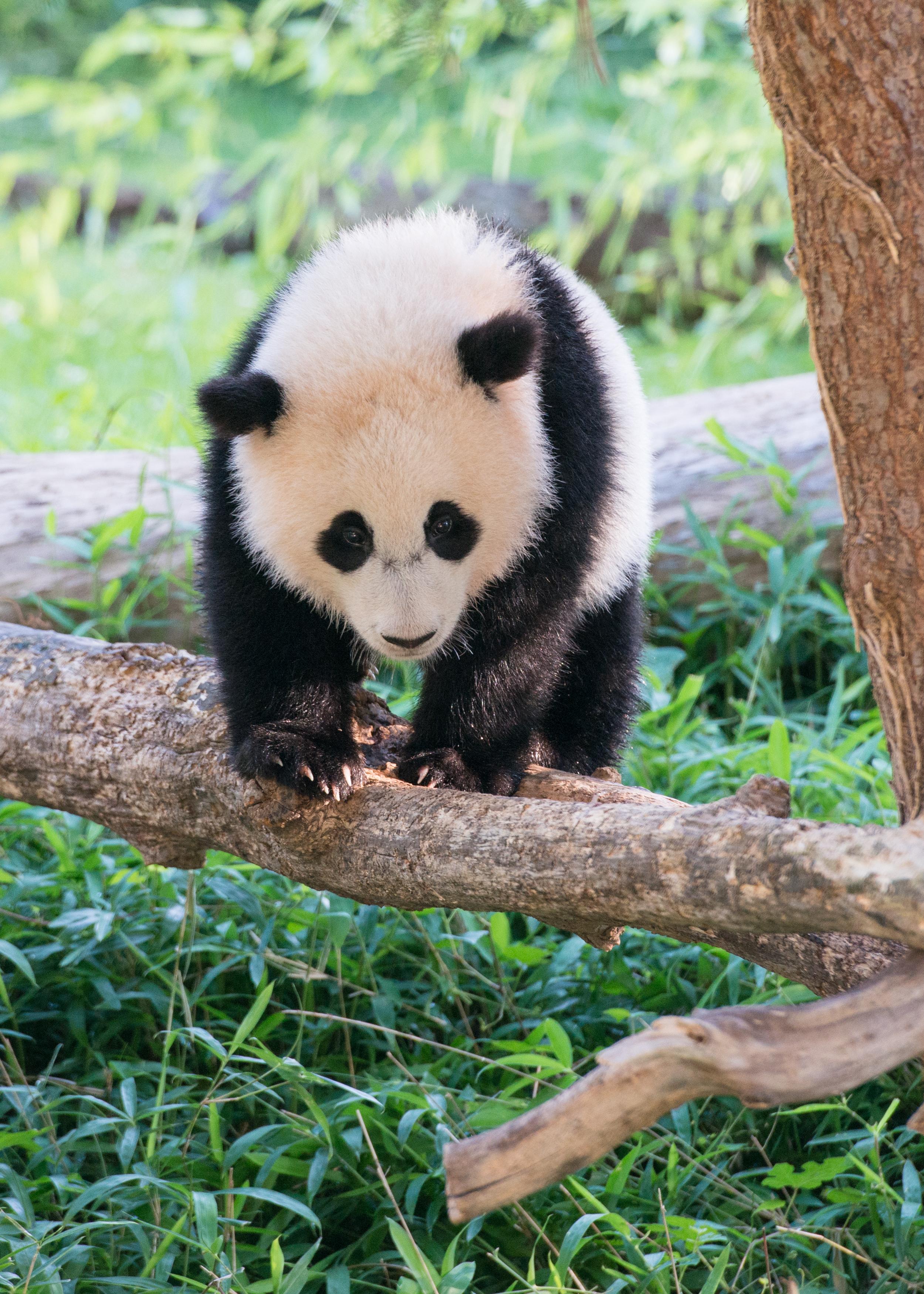 giant panda bao bao moving to china next year smithsonian u0027s