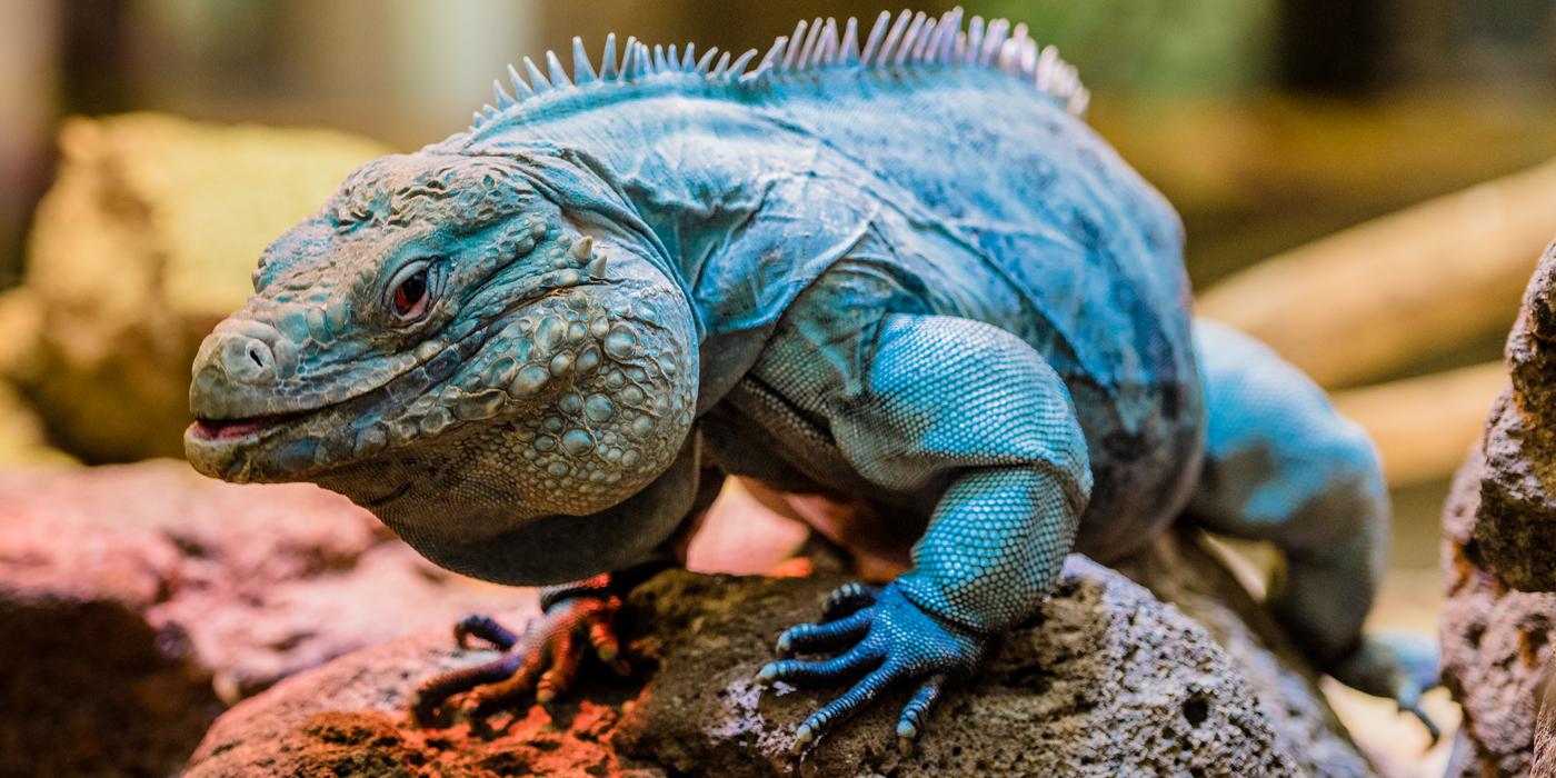 [Image: 20170217am-iguanas-44_0.jpg]