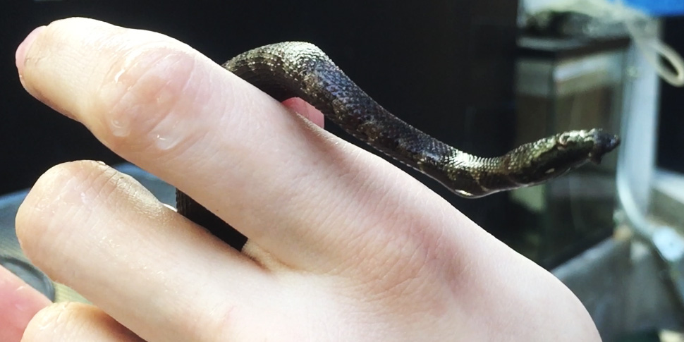 A tentacled snake baby being held in someone's hand