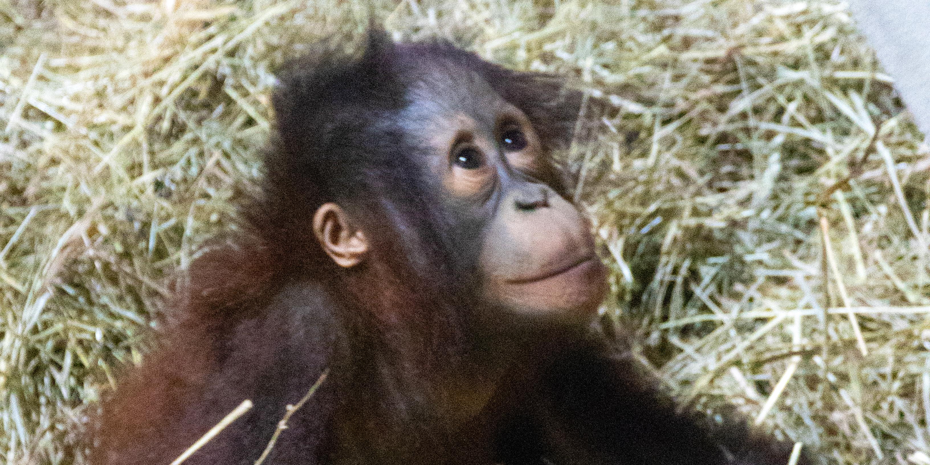 Bornean orangutan infant Redd at 22 months old.