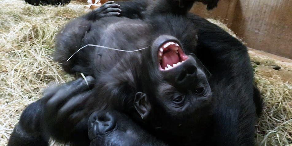Western lowland gorillas Moke and Kibibi wrestle at the Smithsonian's National Zoo's Great Ape House.
