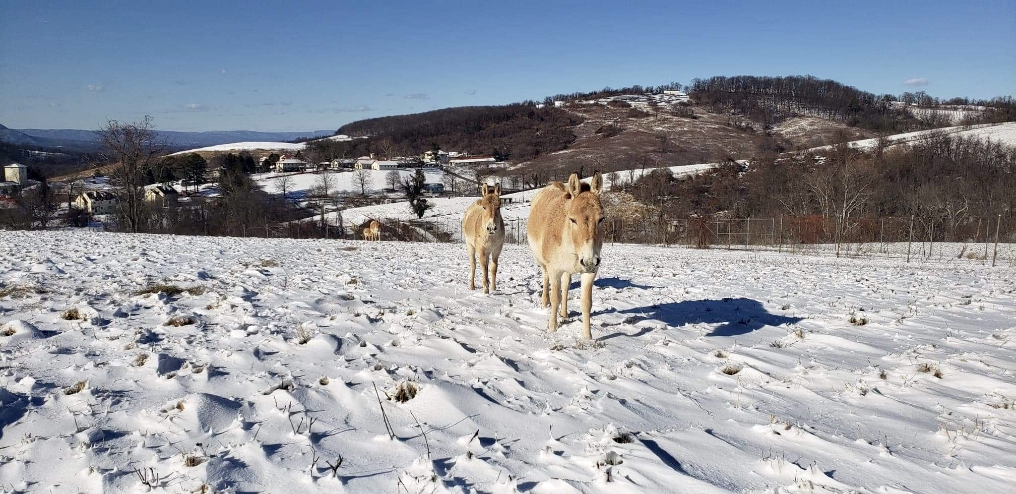 Persian Onagers Dig the Snow