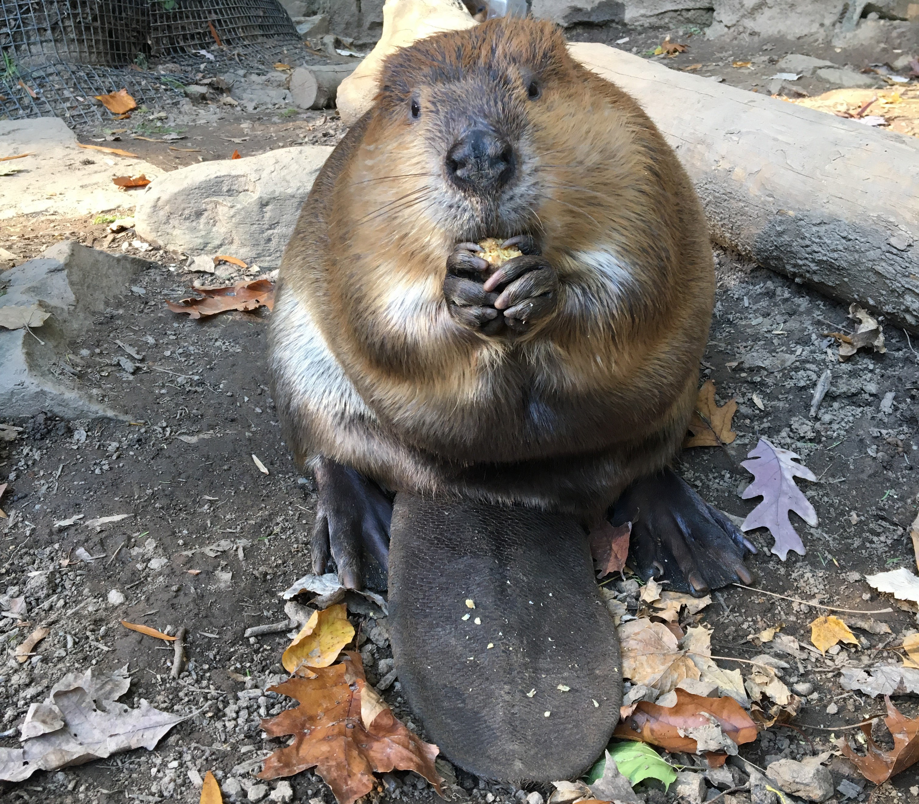 Beaver Dies at Smithsonian's National Zoo
