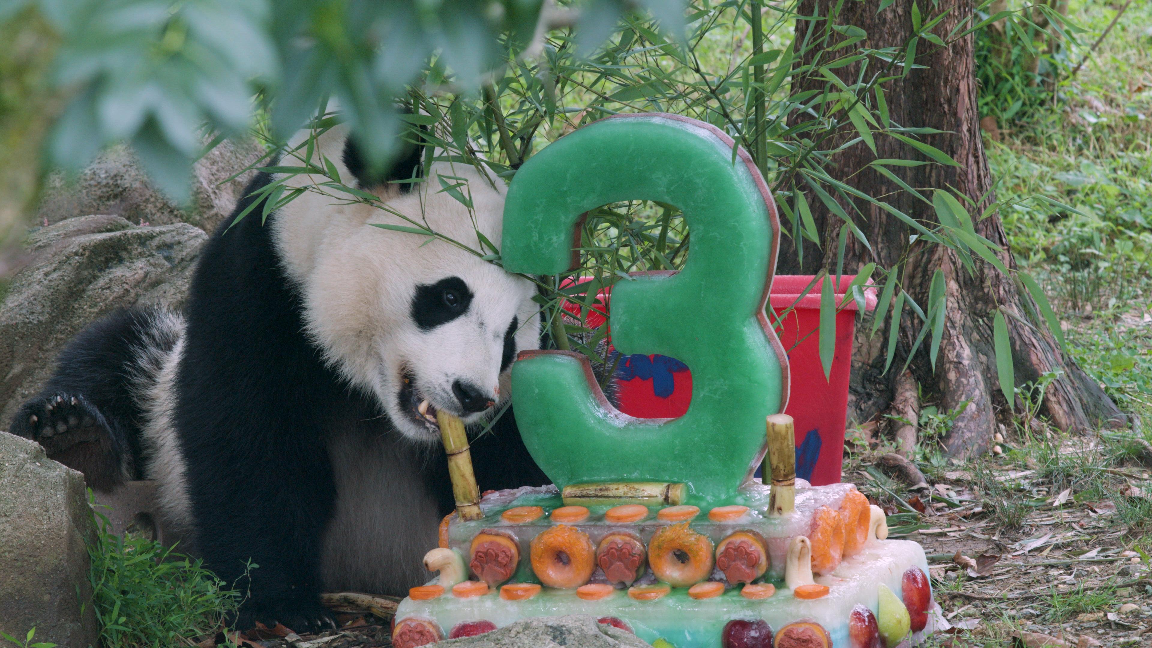 Smithsonian S National Zoo Celebrates Giant Panda Bei Bei
