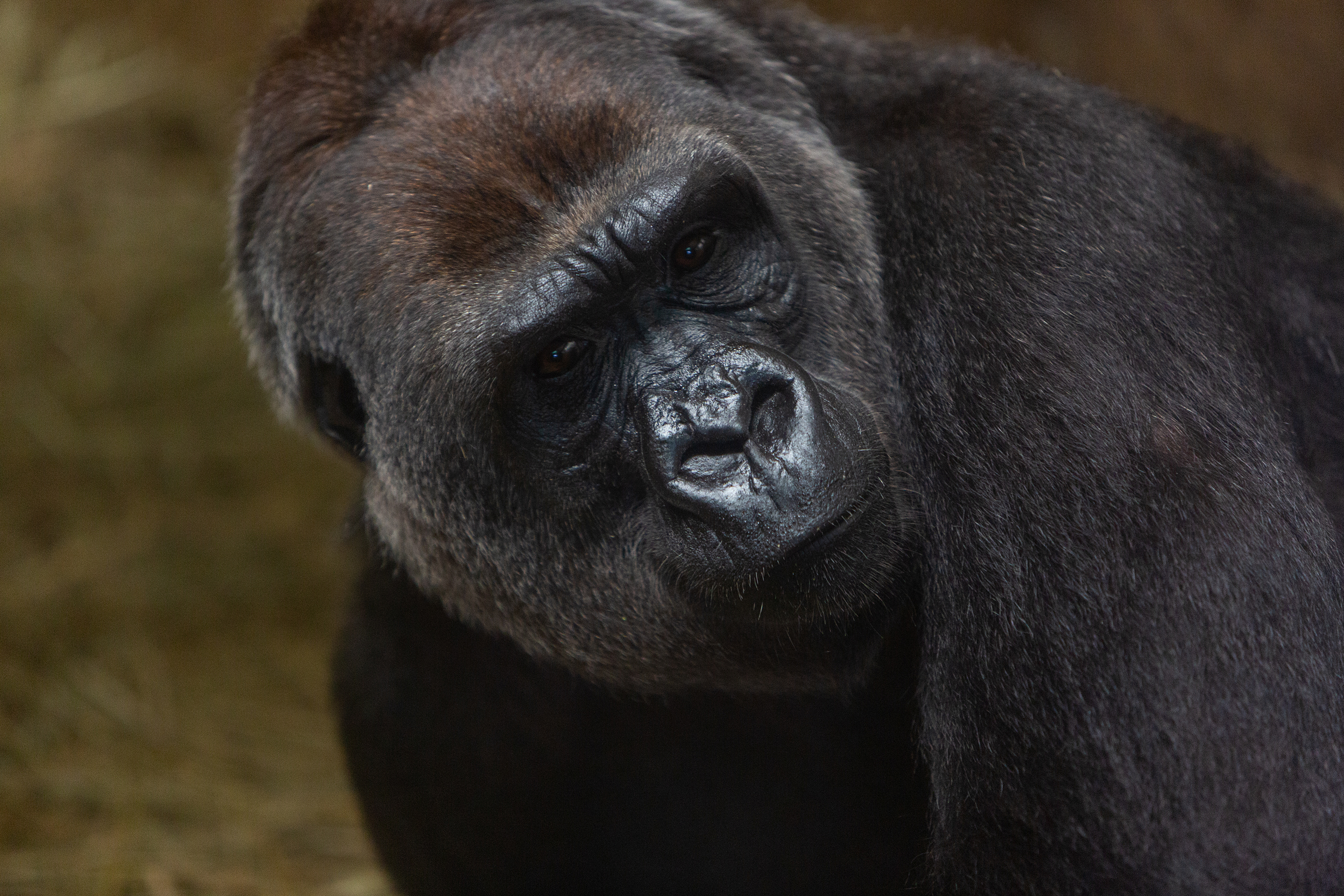 Animal Came In Her Mouth Porn western lowland gorilla born at the smithsonian's national