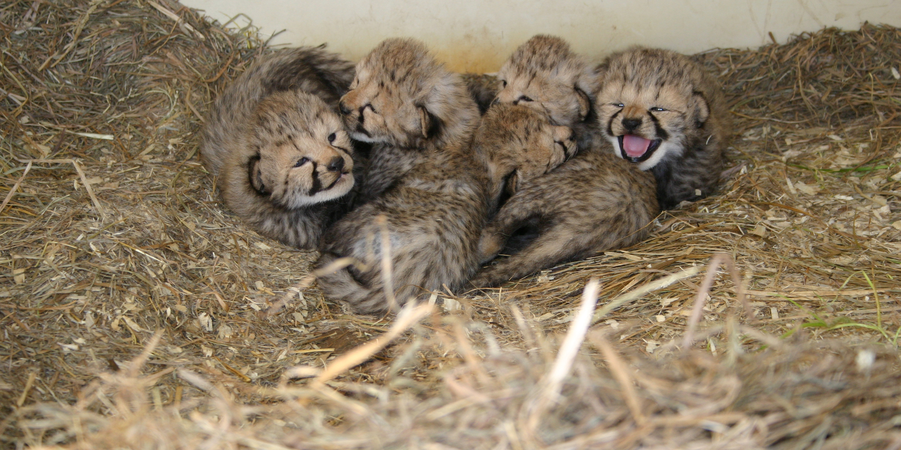 Twelve Cheetah Cubs Born at Smithsonian Conservation ...