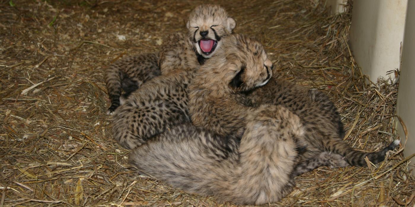 twelve cheetah cubs born at smithsonian conservation biology