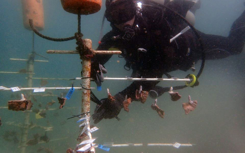 """Suspended from a """"tree"""" above the sea floor, these corals are teaching Smithsonian Conservation Biology Institute scientist Mike Henley whether corals grown in warmer waters fare better than their cold-water counterparts."""