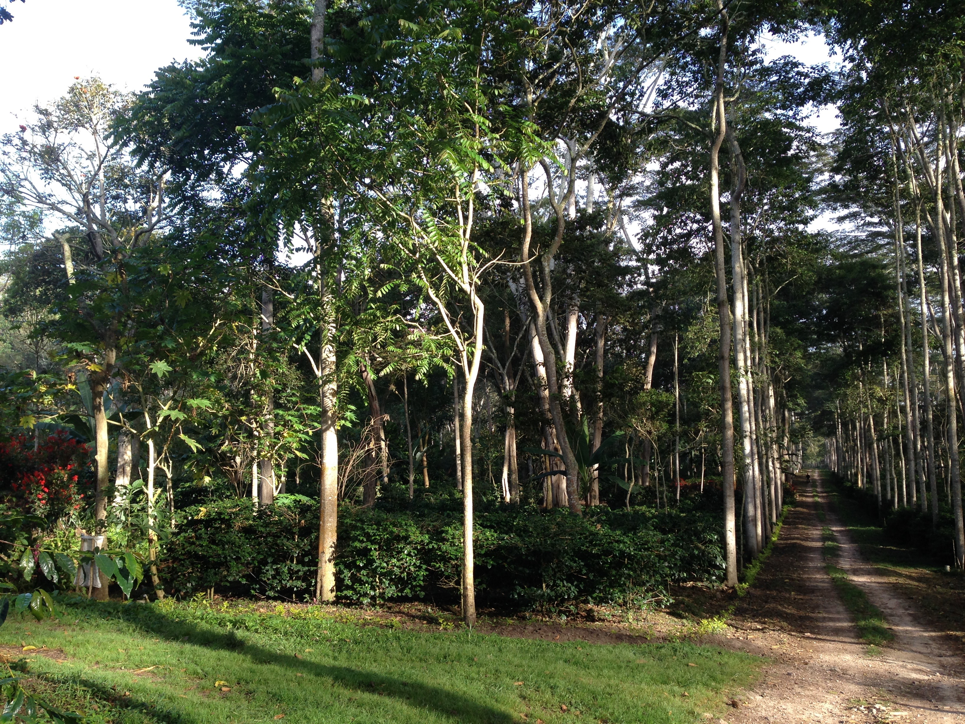 The El Roble shade coffee farm in Colombia. There are trees of different heights, shrubs, green grass and an unpaved road