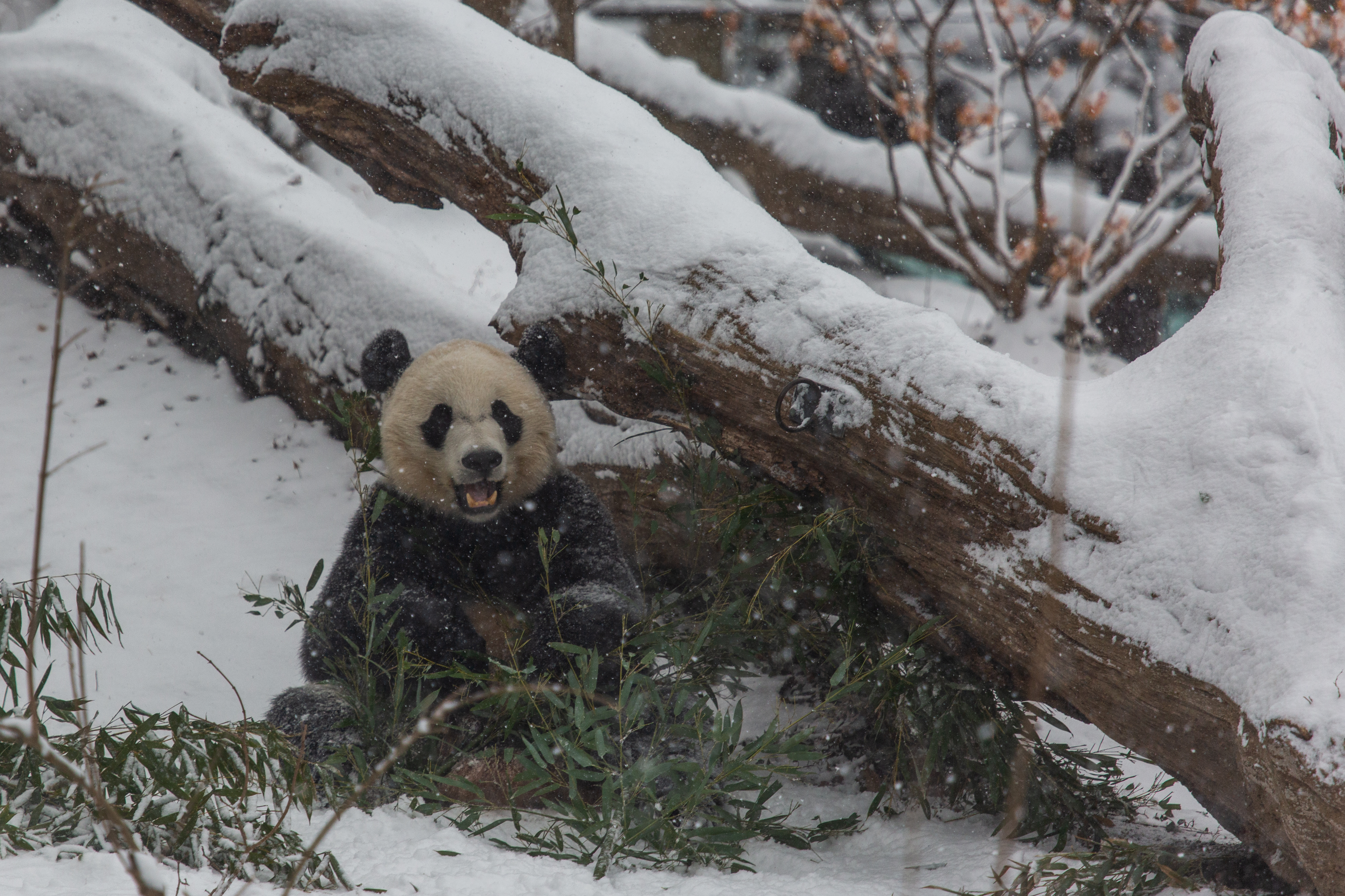 VIDEO: Pandas in the Snow Feb  20, 2019 | Smithsonian's National Zoo