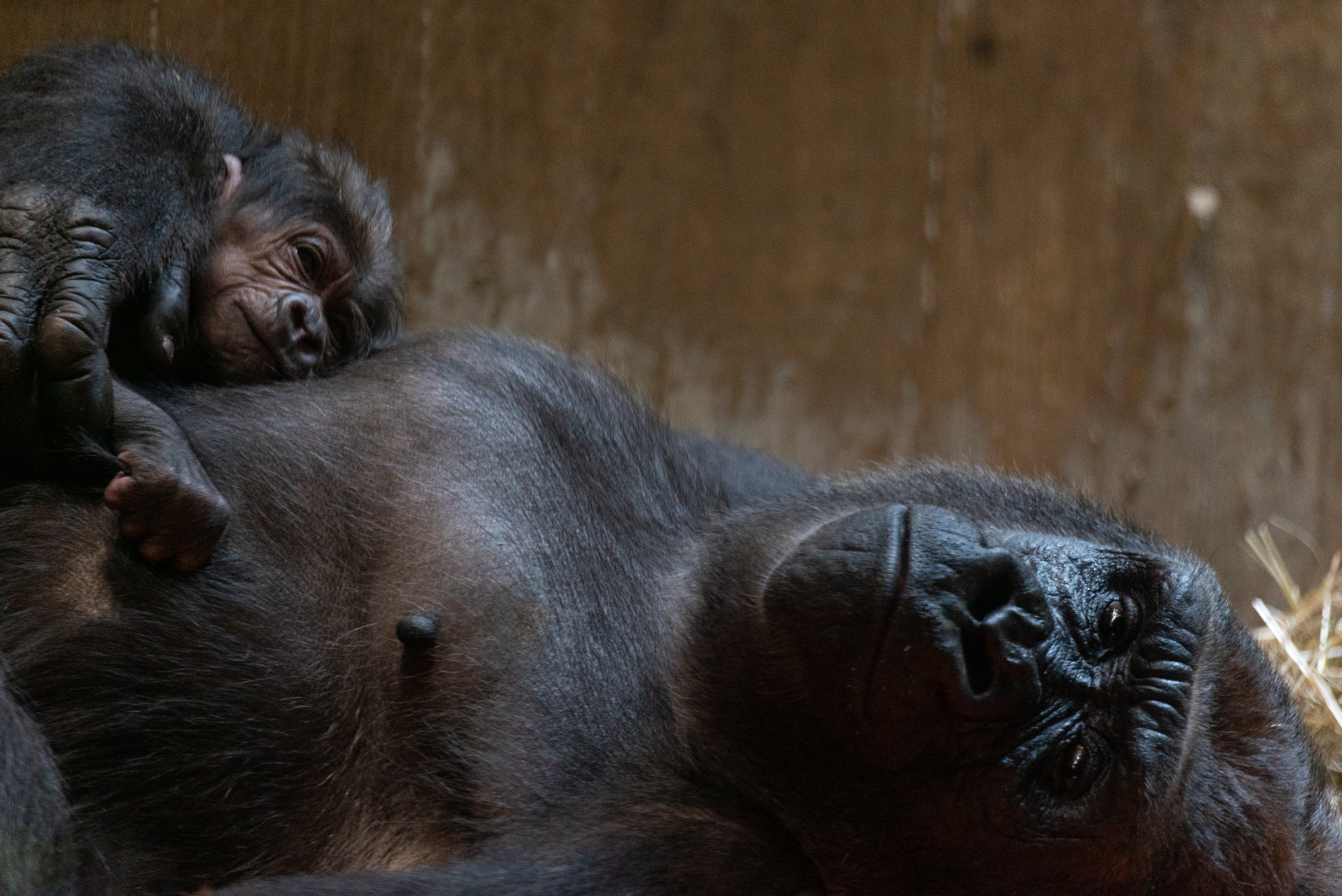 Western Lowland Gorilla Born At The Smithsonian S National Zoo And
