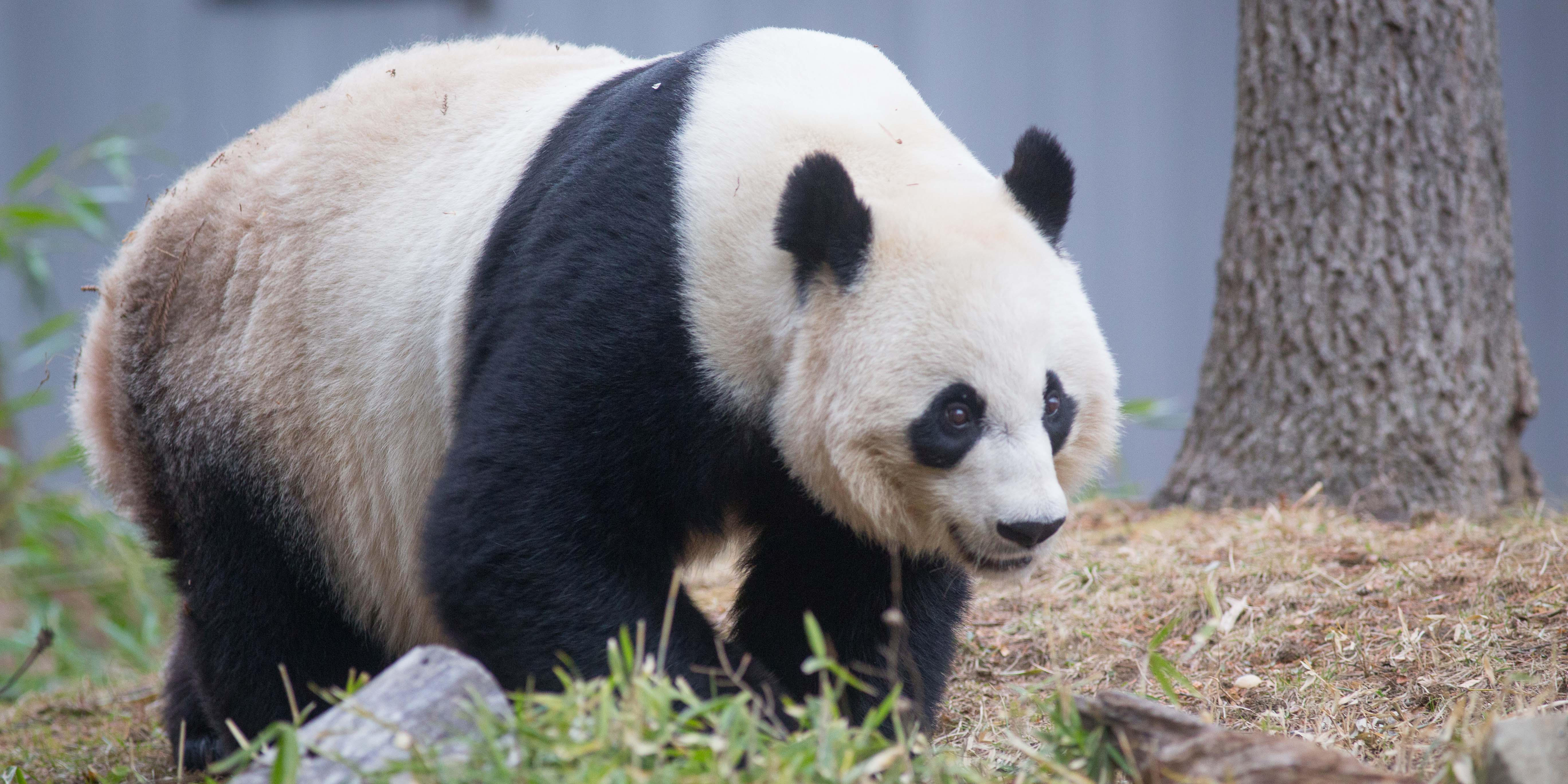 Giant panda Mei Xiang stands in the grass near a tree in her outdoor habitat at the Smithsonian's National Zoo