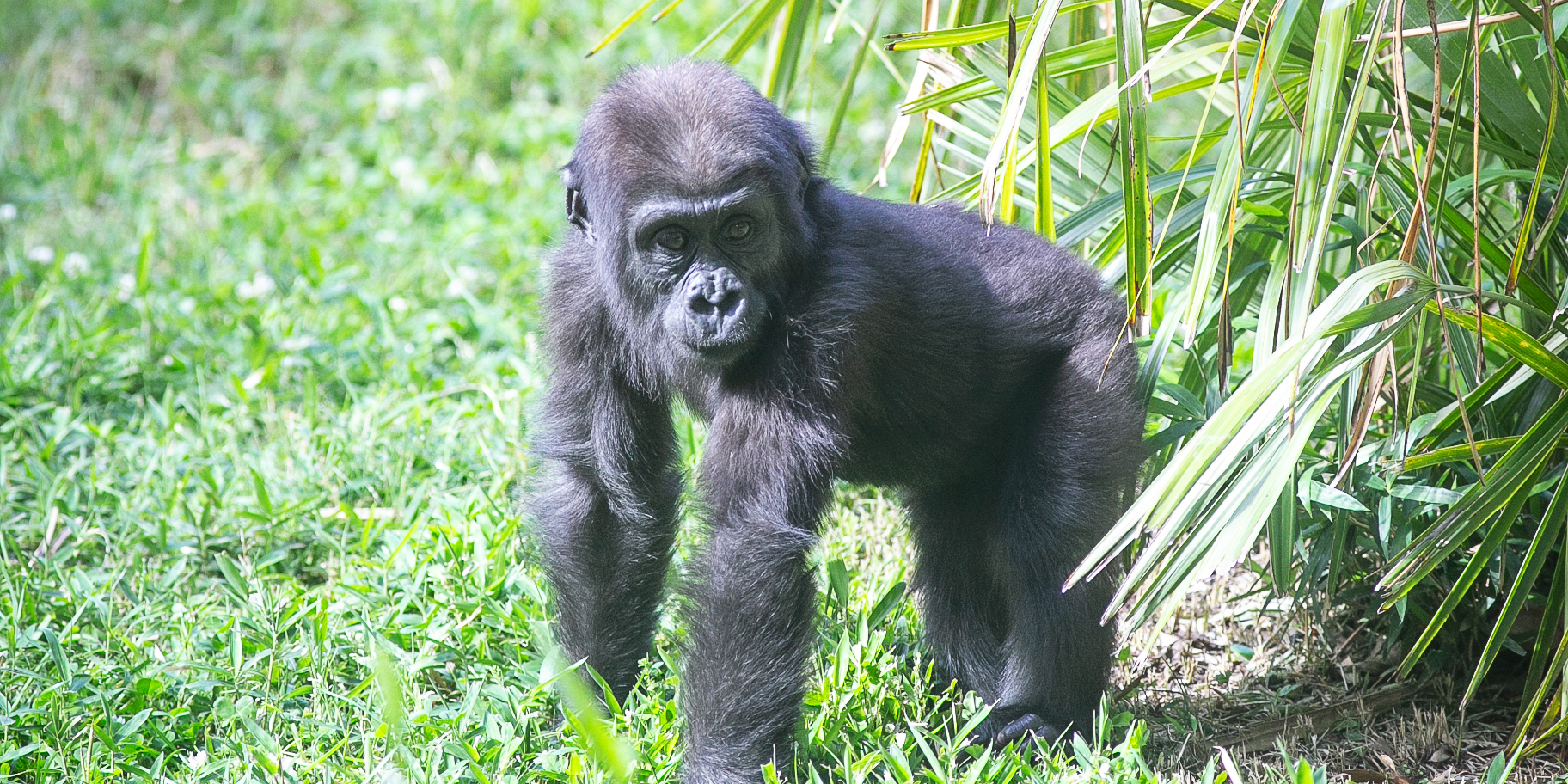 Infant western lowland gorilla Moke stands on all fours in the grass near a plant in his outdoor yard at the Smithsonian's National Zoo