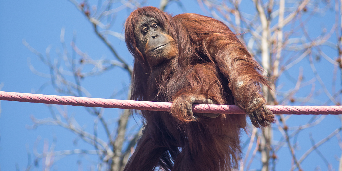 An orangutan crossing the o-line at the Smithsonian's National Zoo