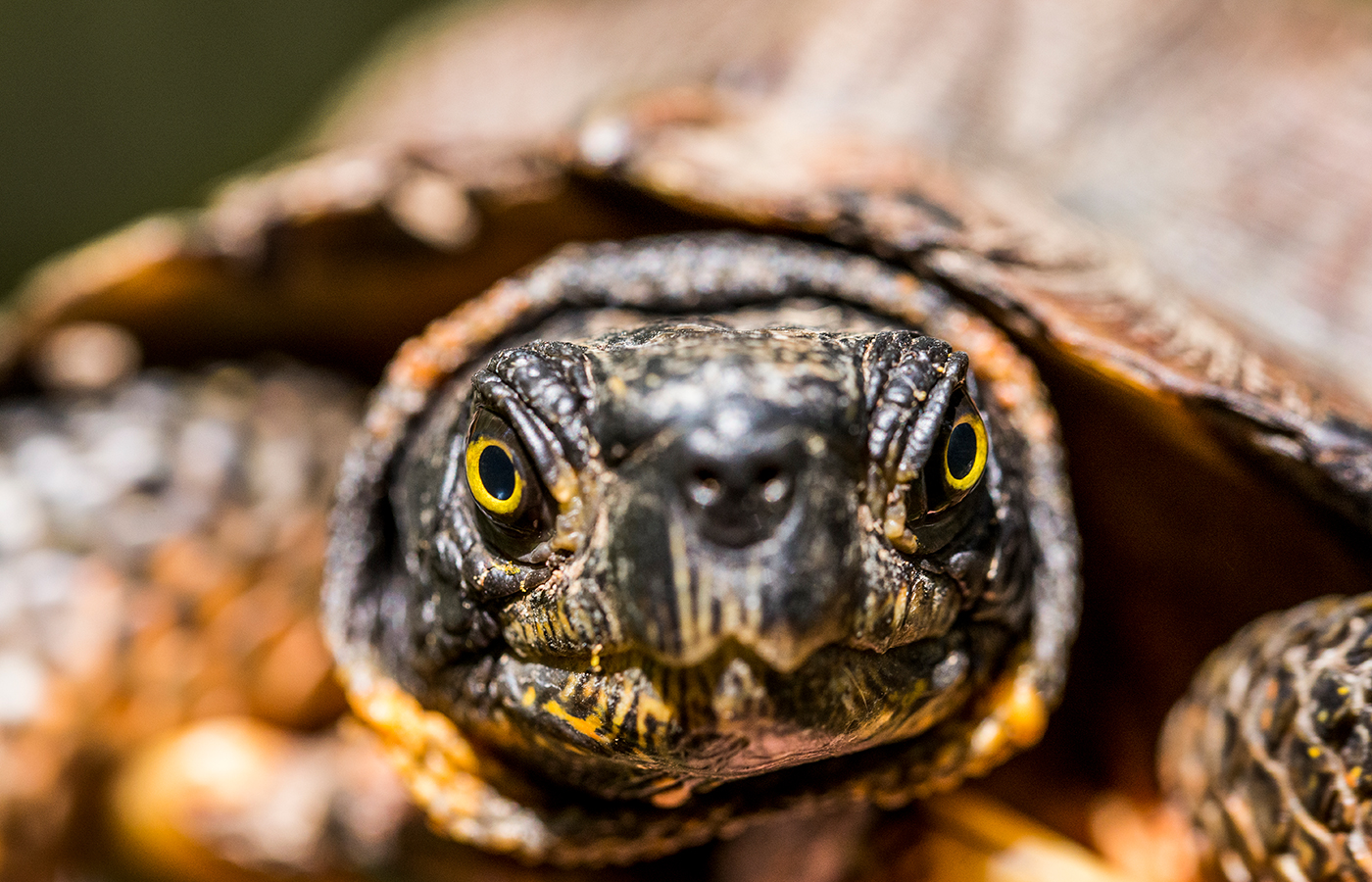 A close-up photo of a wood turtle's face. The turtle has yellow eyes and black and yellow-orange mottled skin