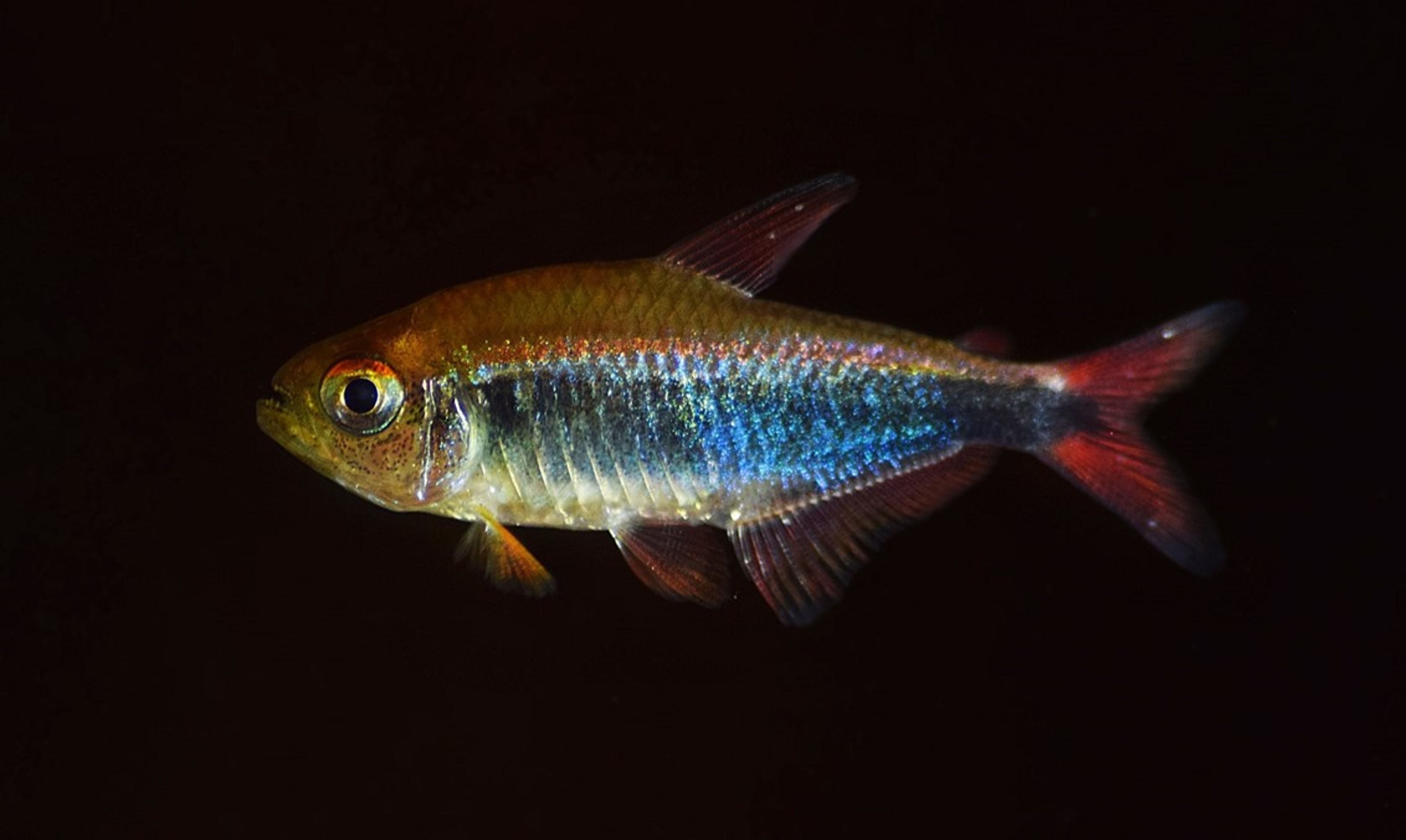 A small, iridescent red and blue fish found in Peru. Researchers believe it is a red-blue Peru tetra fish but need to conduct a DNA analysis to confirm