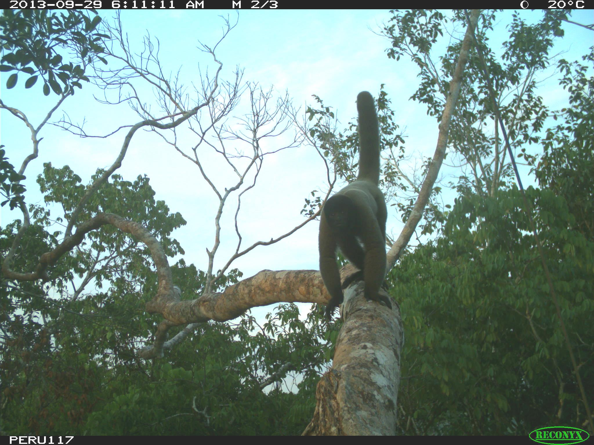 Woolly monkey climbing on a branch in the tree canopy