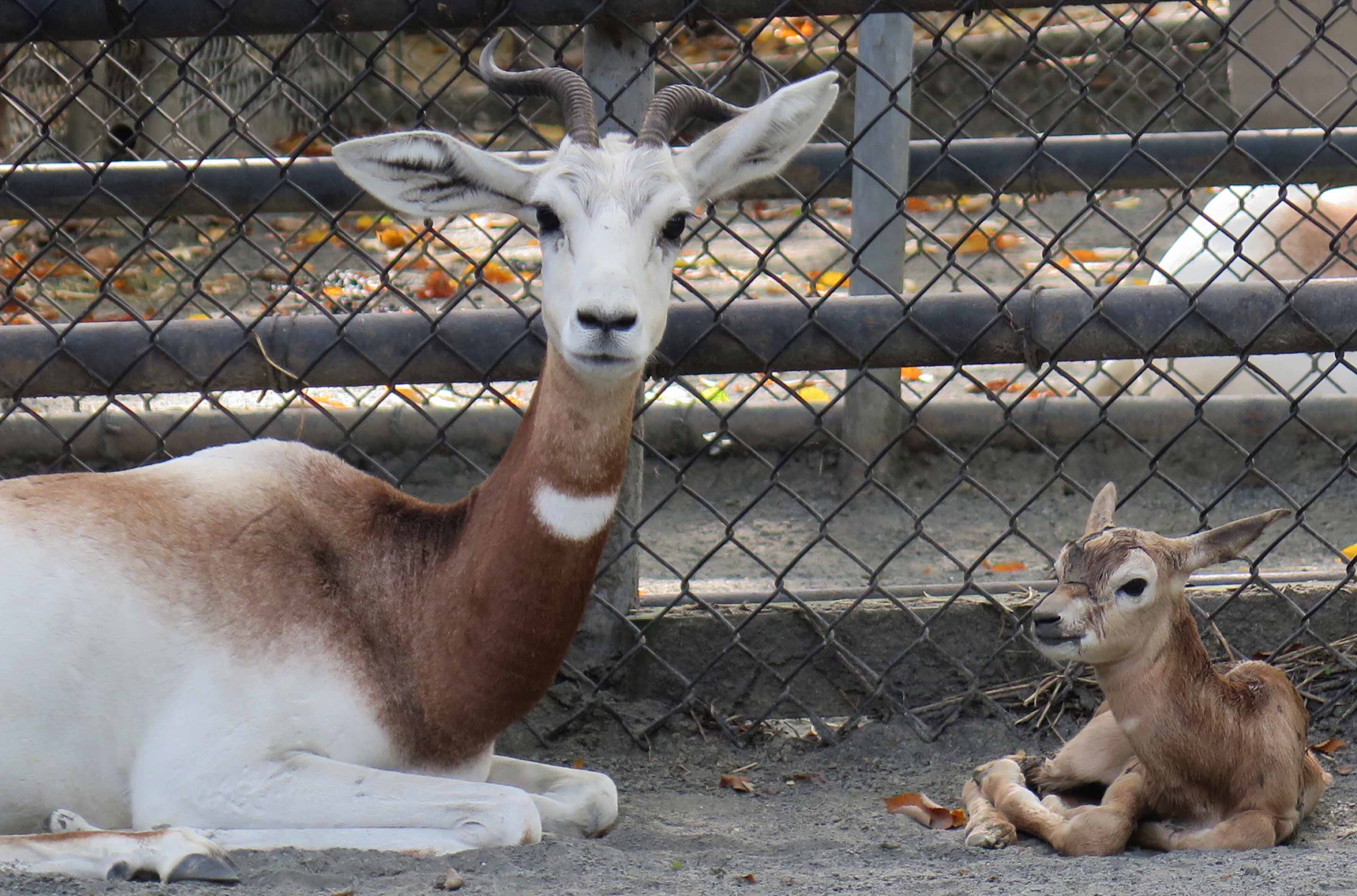 Dama Gazelle Dies at Smithsonian's National Zoo
