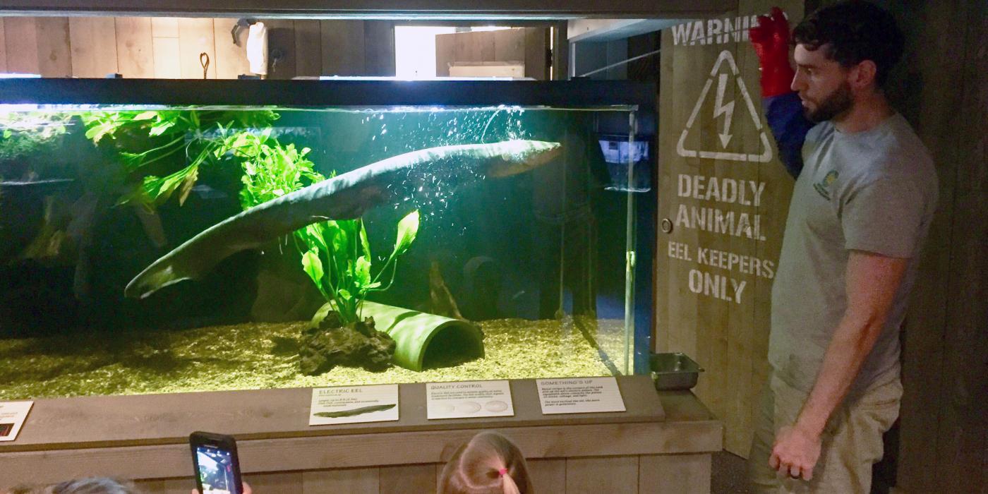 Amazonia keeper Denny Charlton feeds the electric eel.