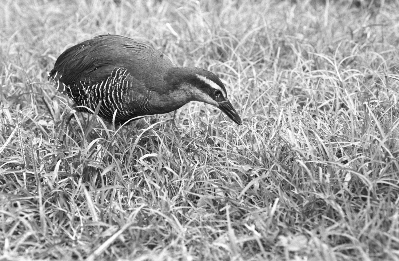 A black-and-white image of a small bird, called a Guam rail, walking through the grass at the Smithsonian Conservation Biology Institute in 1994