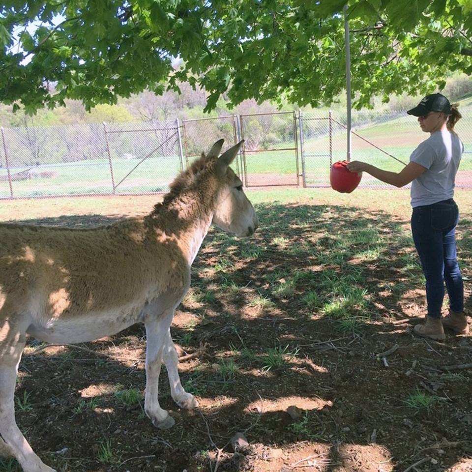 Animal keeper Tara Buk trains a female onager to urinate on command so scientists can analyze her hormones and determine her readiness to breed.