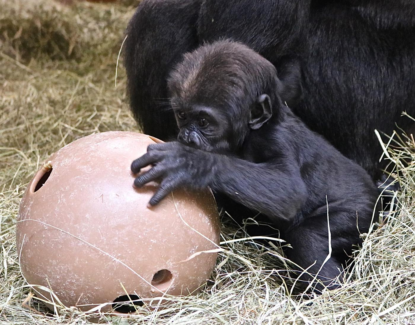 Western lowland gorilla Moke playing with an enrichment puzzle feeder.