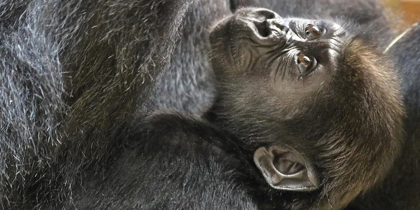 Western lowland gorilla Moke brown hair.