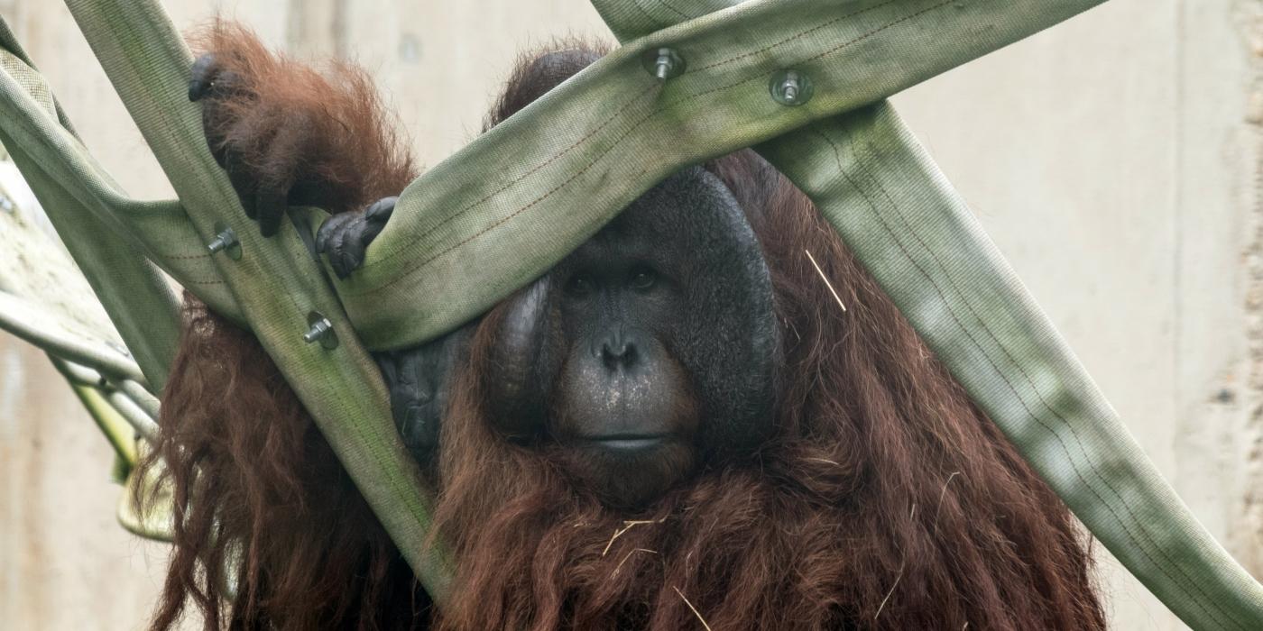 Bornean orangutan Redd's father, Kyle, has a flair for the dramatic.